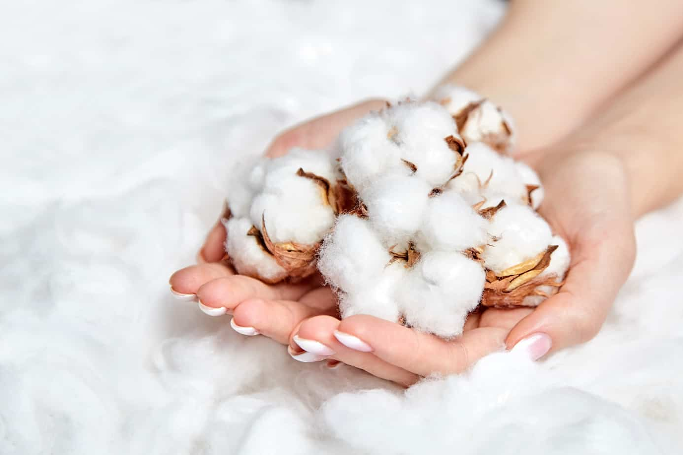 Heap of white fluffy cotton flowers in the female hands